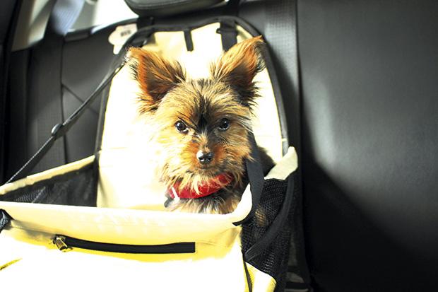 Transporte de animais no carro: conheça algumas dicas